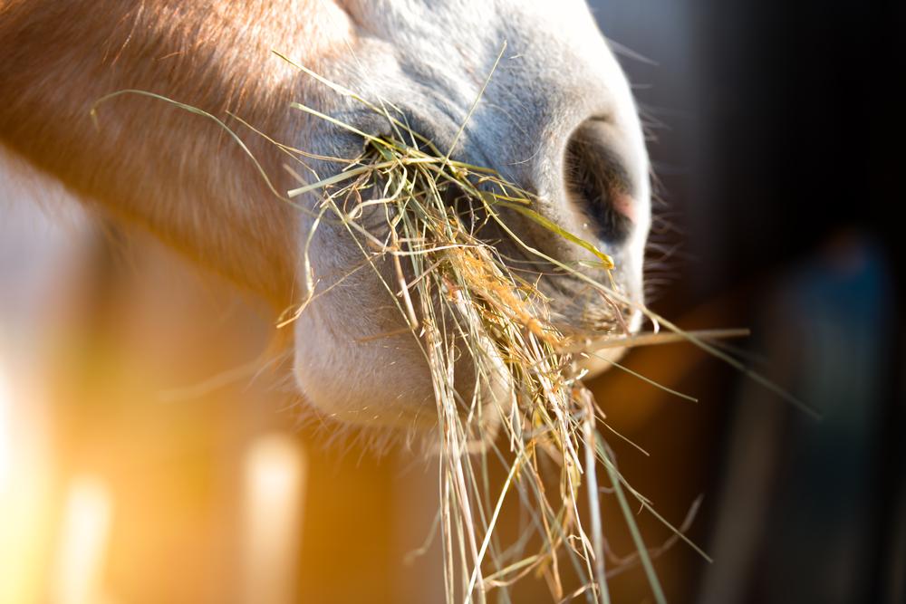 Feno e silagem são outras opções para dieta dos cavalos, mas também dependem de manejo correto. (Fonte: Shutterstock)