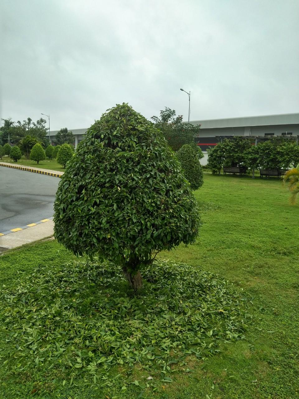 Di dời cây xanh cần phải cẩn thận
