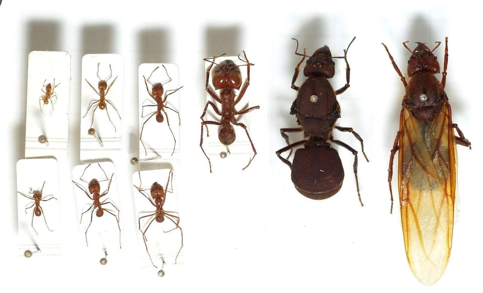 https://upload.wikimedia.org/wikipedia/commons/thumb/7/7d/Atta.cephalotes.gamut.selection.jpg/1920px-Atta.cephalotes.gamut.selection.jpg