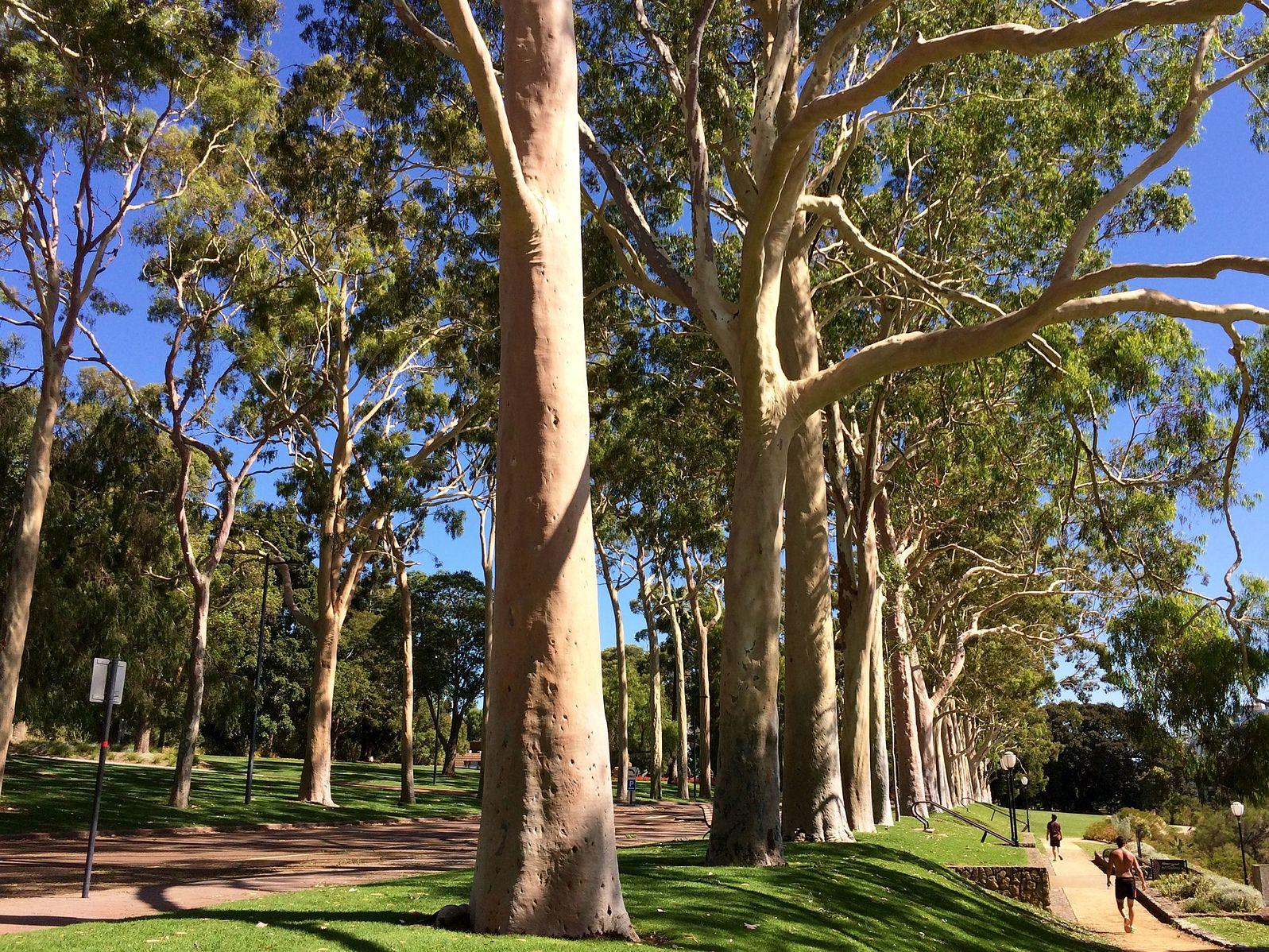Lemon Eucalyptus Essential Oil: eucalyptus trees