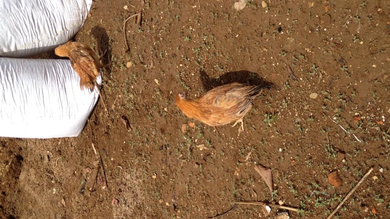 Kết quả hình ảnh cho bệnh gà rù