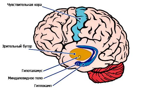 миндалевидное-тело.jpg