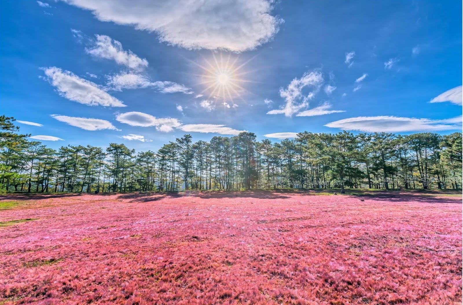 Đồi cỏ hồng Đà Lạt khi nắng lên