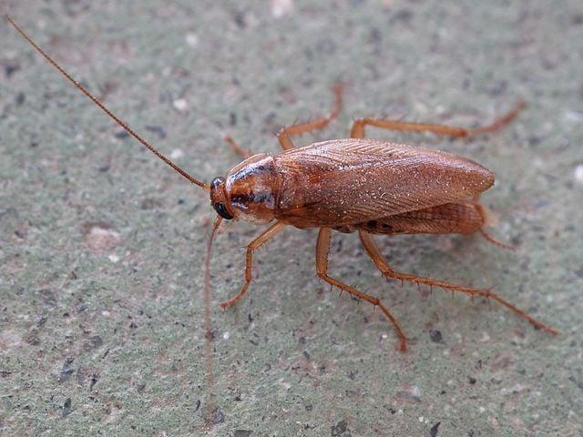 Tysk kackerlacka, Blattella germanica