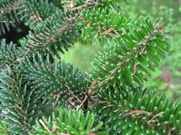Description: Abies numidica.jpg