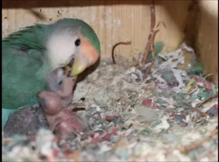 Lovebird parent feeding chicks