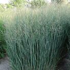 https://www.vitroflora.pl/img/produkty/rosliny/_137X137/byliny-i-trawy_panicum-proso_79075_2.jpg