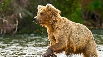 Bear In A Lake