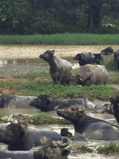 The best way to relieve heat stress in buffaloes is to provide controlled free access to natural sources of water.