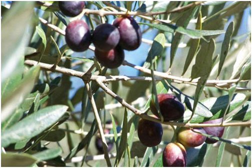 Oliu là nguyên liệu đặc trưng nhất trong ẩm thực Hy Lạp.