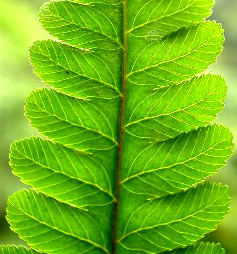 台灣樹蕨葉脈