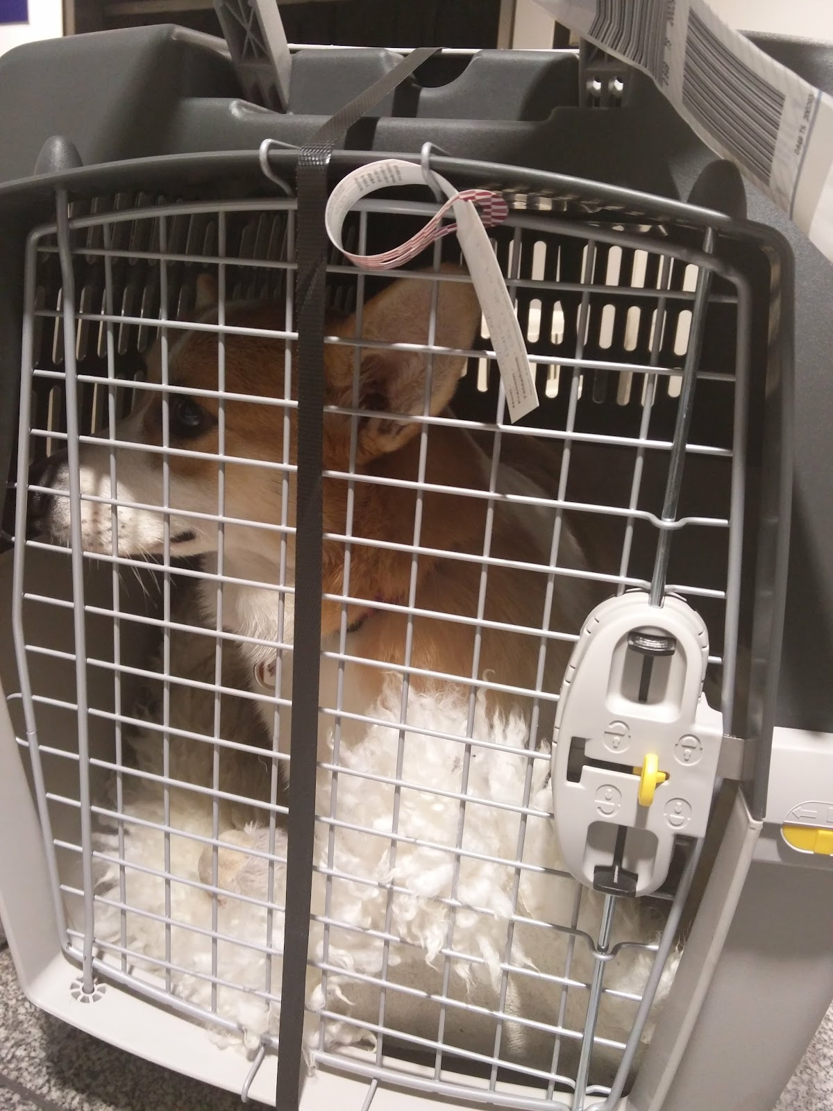 corgi in an IATA dog cage at the airport