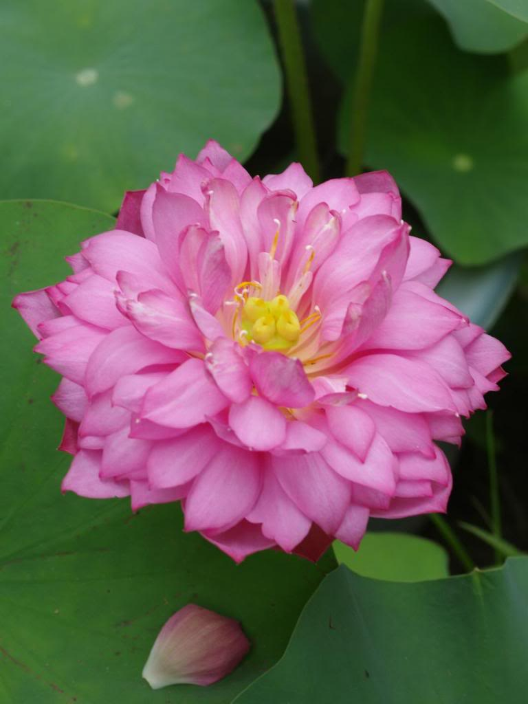 buttonhole lotus.jpg