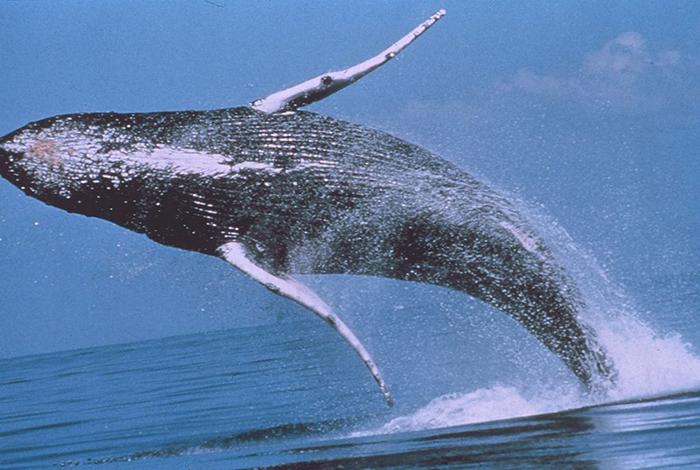 Una ballena jorobada en pleno salto