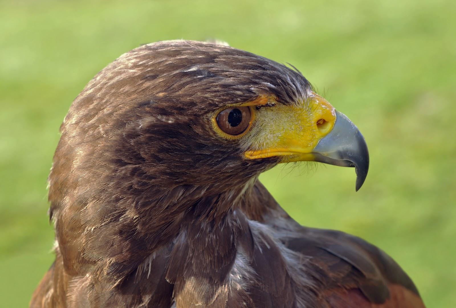 Harris's_Hawk_Parabuteo_unicinctus_(Temminck_1824).jpg