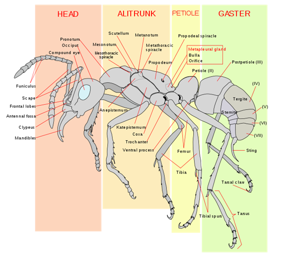 File:Scheme ant worker anatomy-en.svg