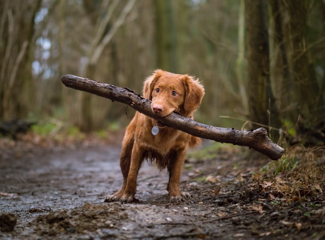 Small dog with a big and dirty branch