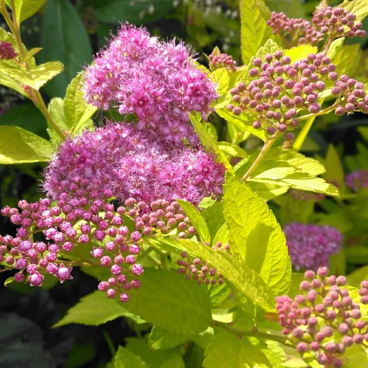 Цветы Спиреи Голд принцесса