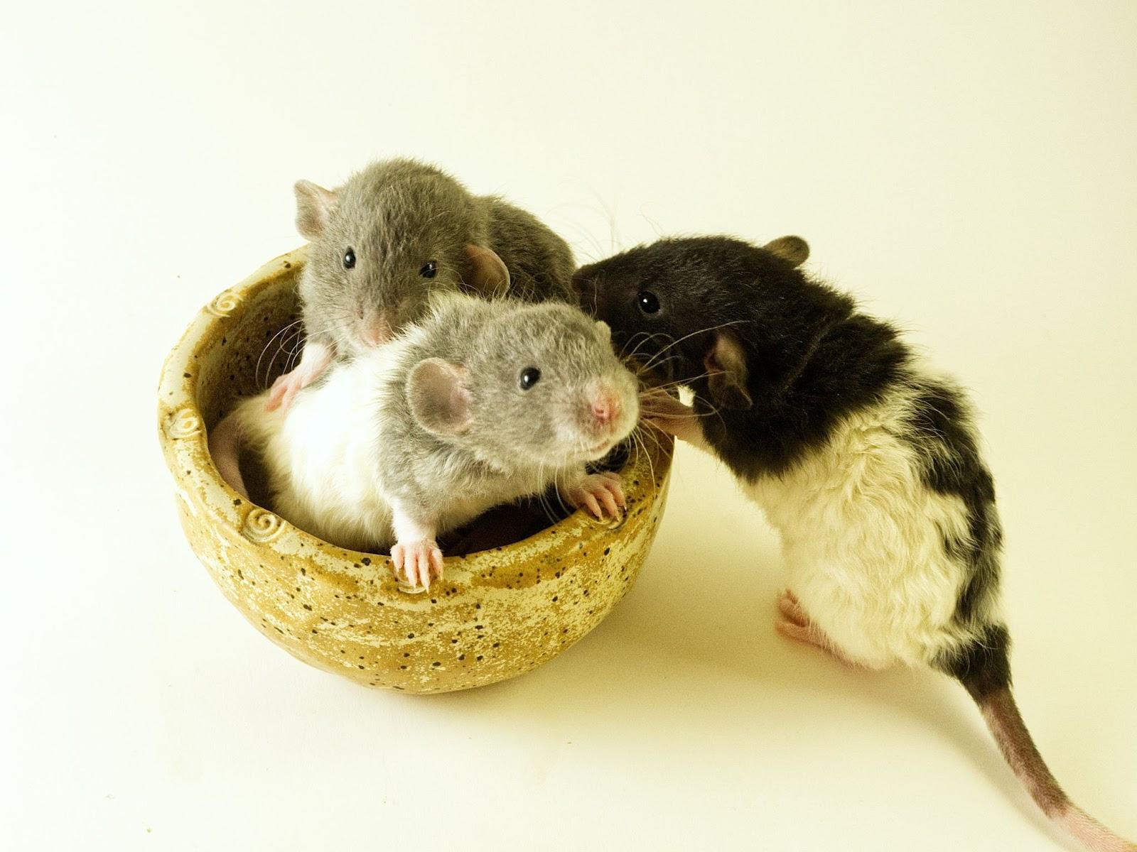 Aumento De Ratos Em Dias Chuvosos
