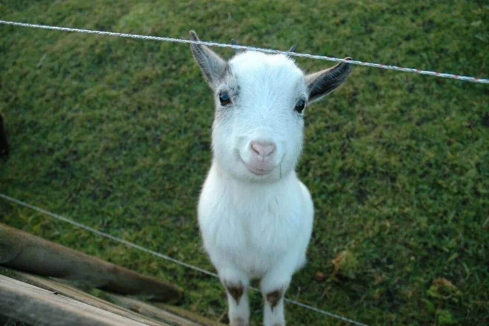 Goats Can Understand Human Expressions And Are Drawn To Smiling Faces