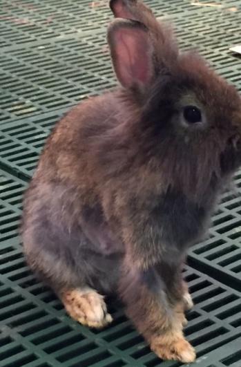 疑似懷孕母兔-褐-2
