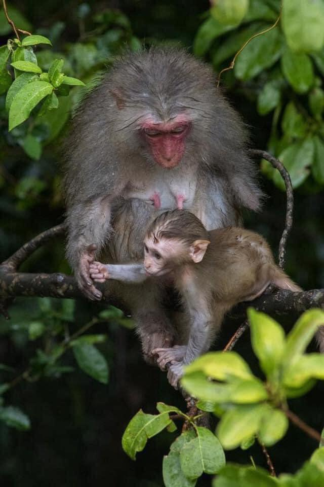 Rơi nước mắt trước hình ảnh những chú khỉ bị bắn phá với các vết thương rỉ máu tại Sơn Trà – Đà Nẵng