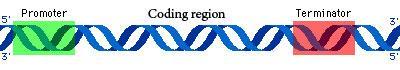 http://nepad-abne.net/wp-content/uploads/2015/07/major-regions-of-a-gene.jpg