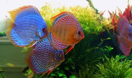 Hướng dẫn cho cá cảnh ăn Trùn chỉ hợp lý