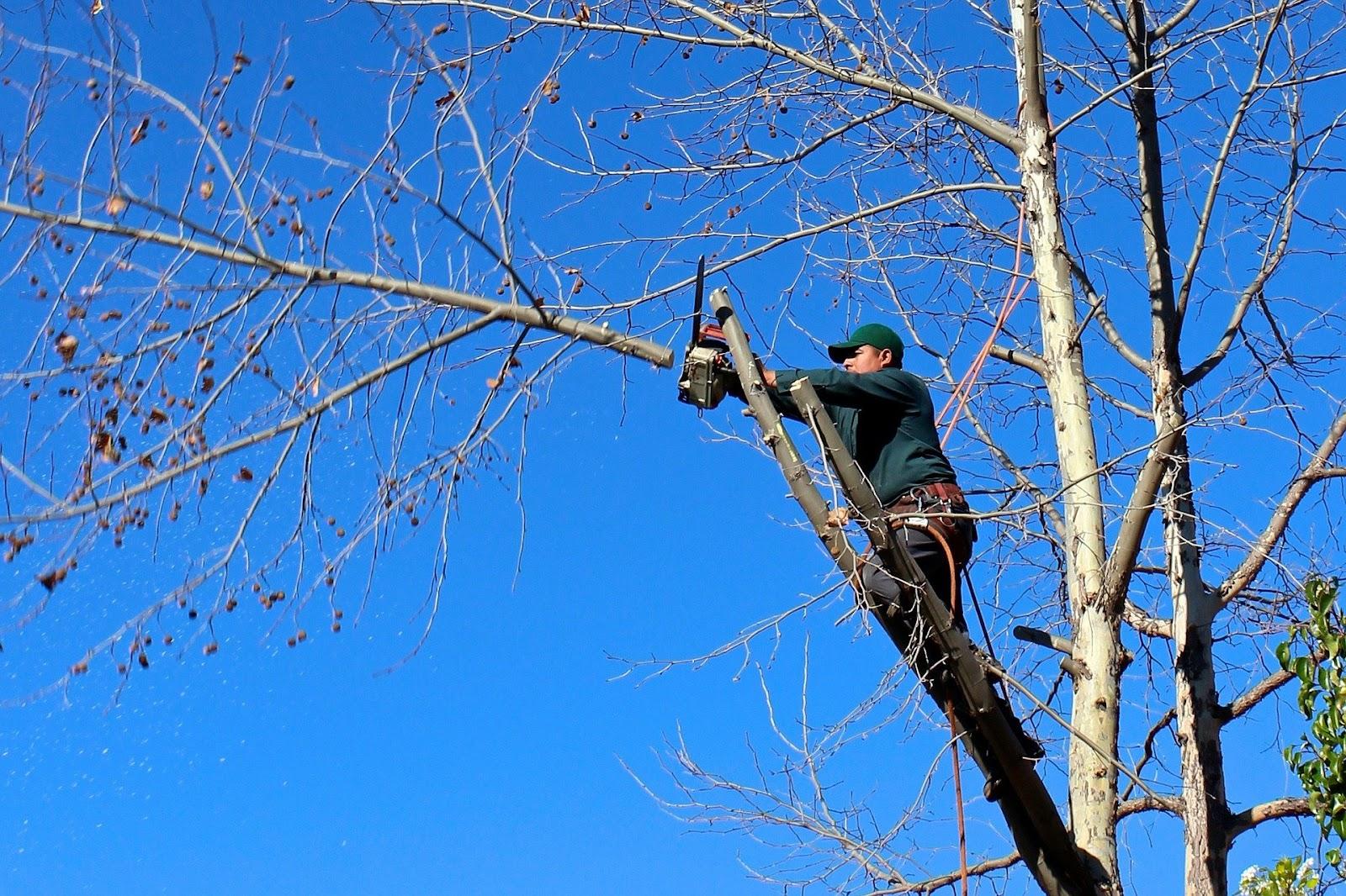 Un paysagiste qui élague un arbre