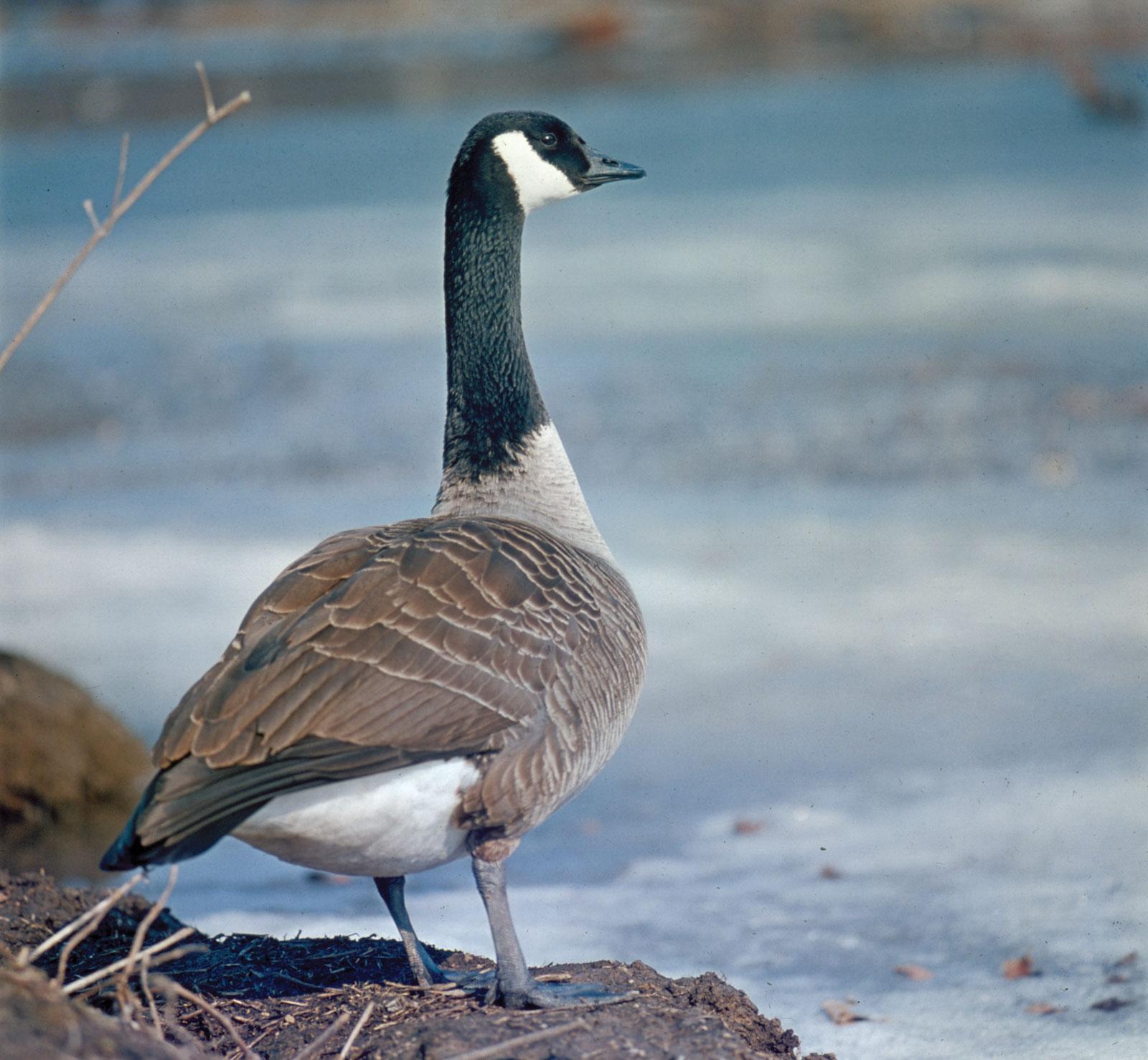 Canada goose   bird   Britannica
