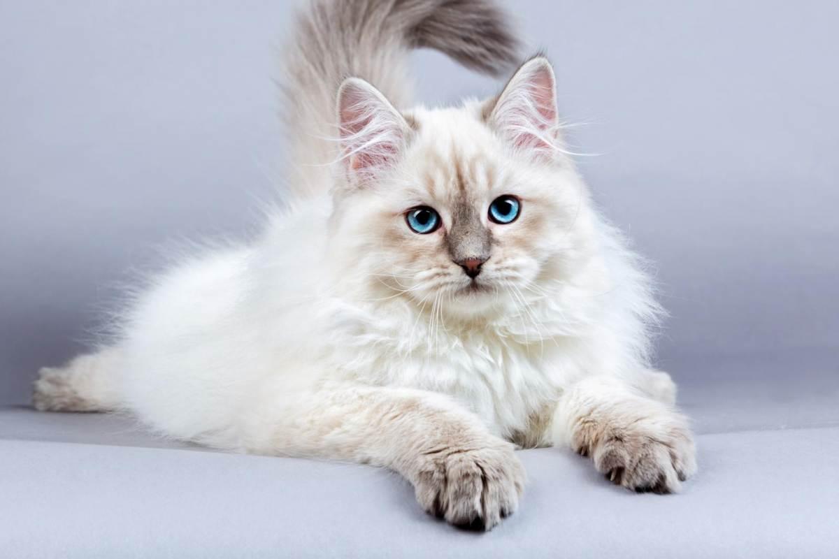mèo siberian