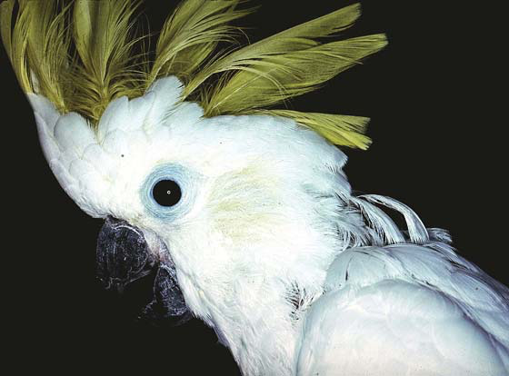 Sulfur-crested cockatoo picks at its neck feathers and is able to pull its crest feathers with feet to chew them