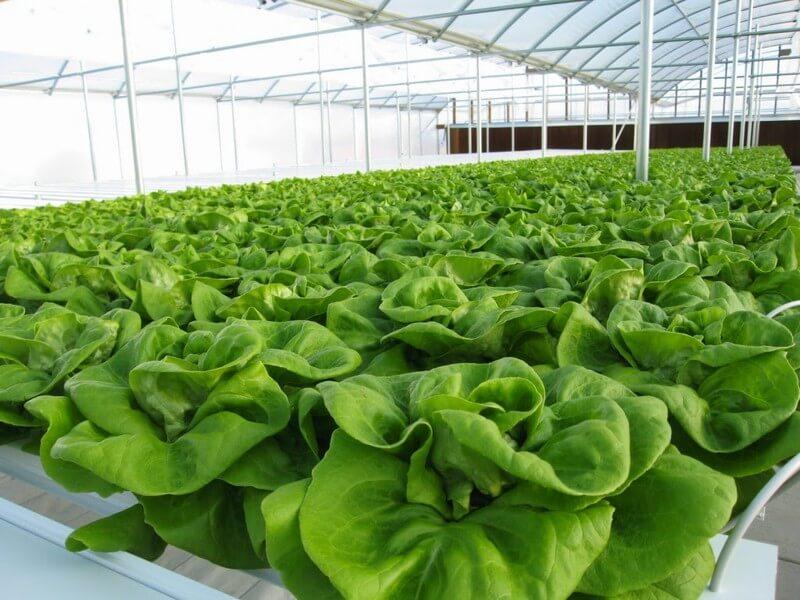 Khởi nghiệp nông thôn với mô hình trồng rau sạch