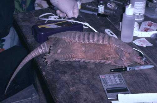 Lateral recumbency of an anesthetized nine-banded armadillo (Dasypus novemcinctus).