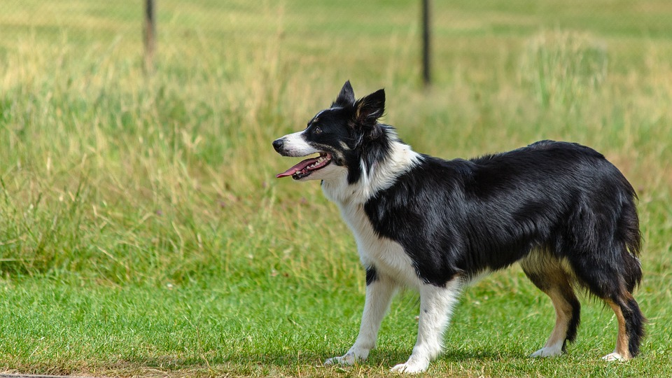 border collie looking straight ahead