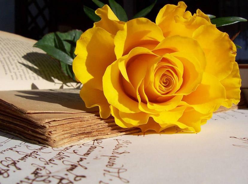 Hoa hồng vàng rực rỡ và những ý nghĩa đặc biệt