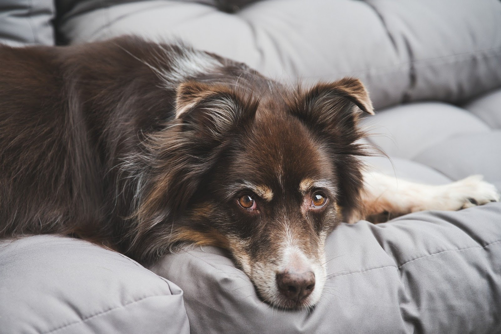 older brown and white dog, laying down and looking at camera