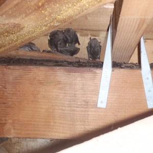 屋根裏のコウモリ2