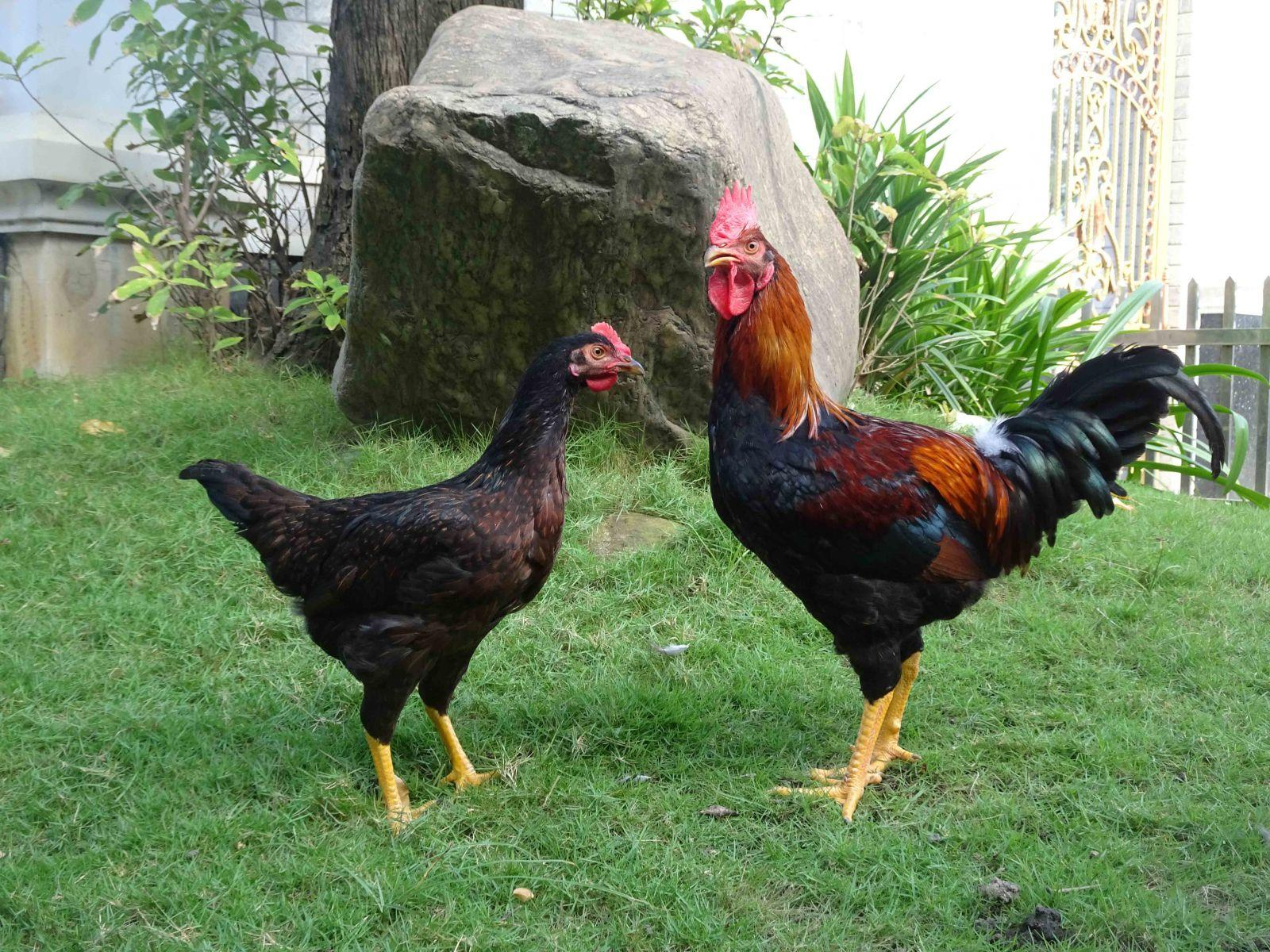 Kết quả hình ảnh cho gà ta