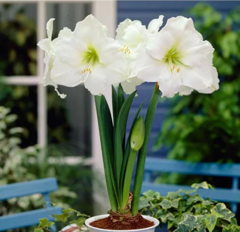 Exotic Flowers-Amaryllis