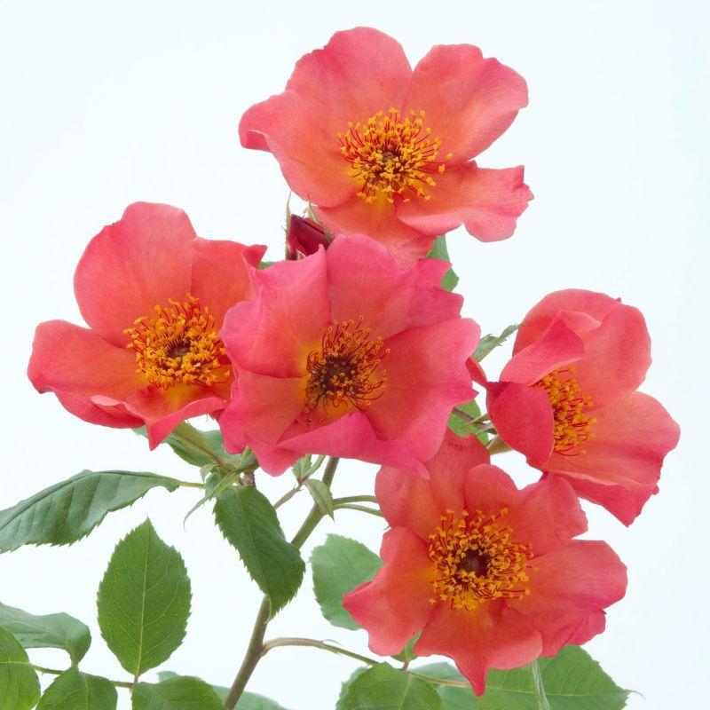 англійська троянда MORNING MIST
