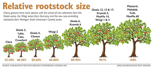 Cherry quality control | relative rootstock size