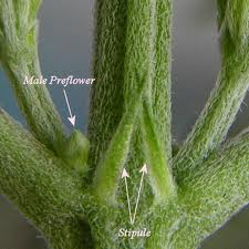 pre-flowers and stipules of cannabis plants