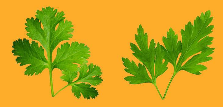 Image result for perejil y cilantro