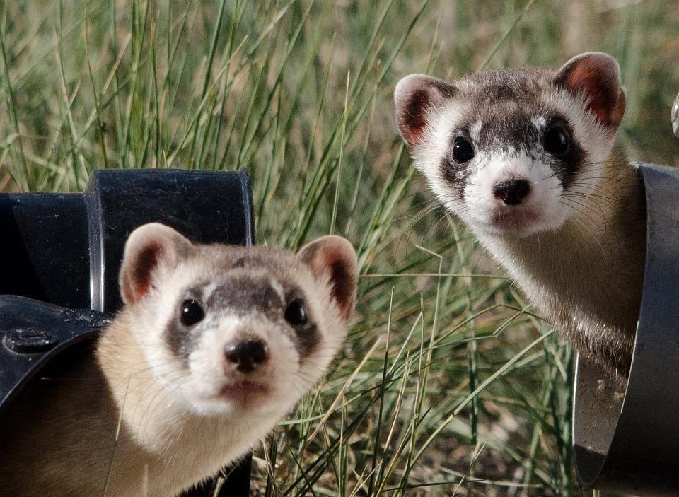 Black Footed Ferrets, Cute