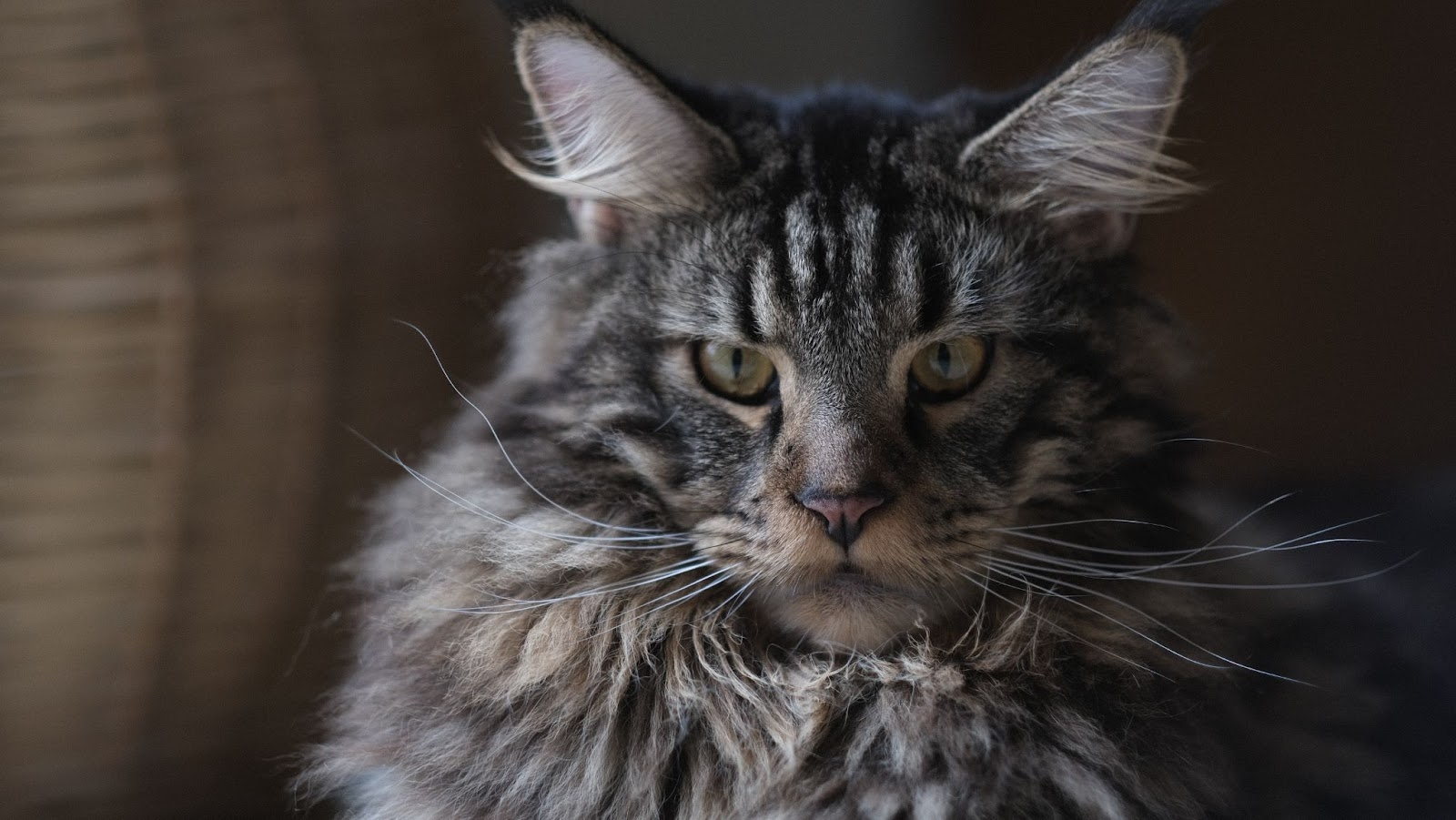 Maine Coon Tips For Good Health