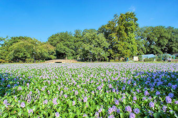 シルバーウィーク前後が見頃!水城公園のホテイアオイ(埼玉)