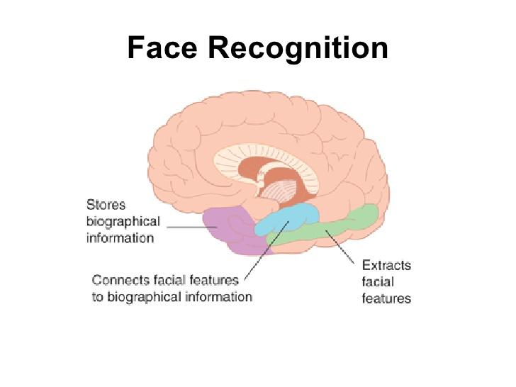 Image result for brain's facial recognition