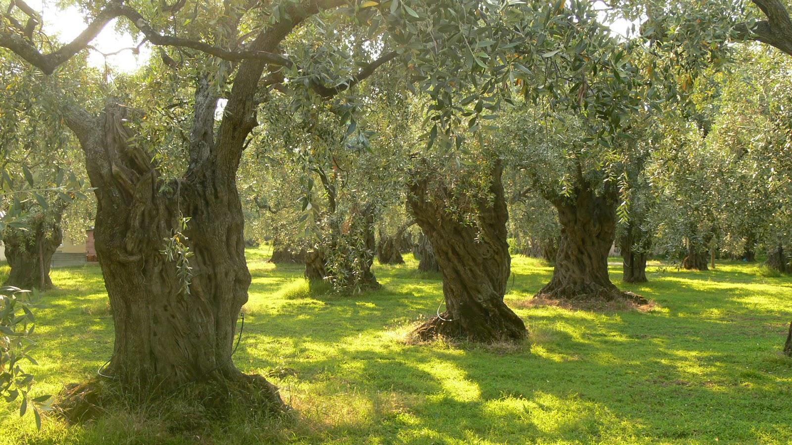 Olive_trees_on_Crete.JPG