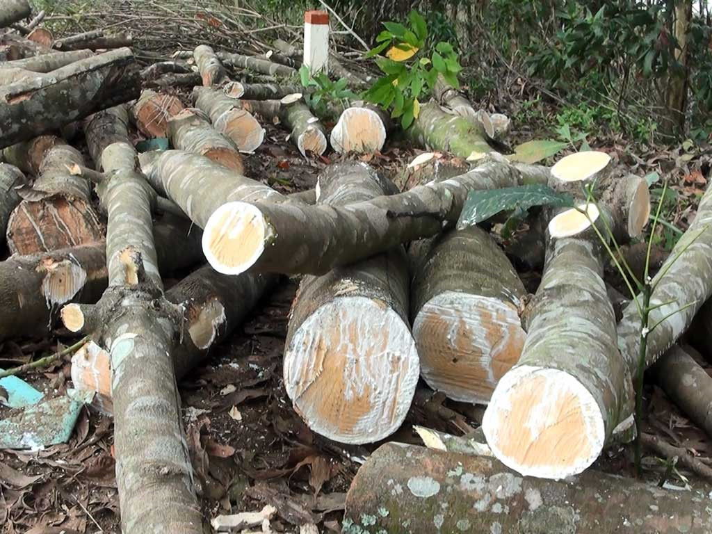 Thân gỗ cao su chừa đốn
